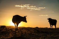 在日落的母牛剪影 免版税库存图片