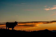 在日落的母牛 免版税库存图片