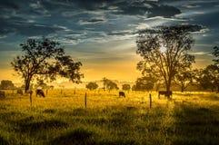 在日落的母牛 库存照片