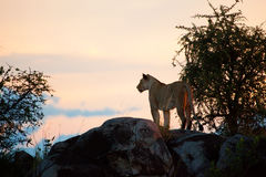 在日落的母狮子。 Serengeti,坦桑尼亚 免版税库存图片
