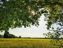 在日落的油菜籽领域 库存图片
