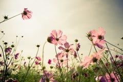在日落的波斯菊花 图库摄影