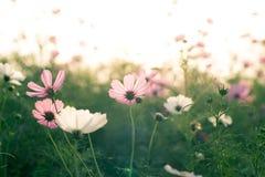 在日落的波斯菊花 库存照片