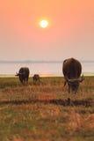 在日落的泰国水牛 库存照片