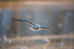 在日落的海鸥飞行 免版税库存照片
