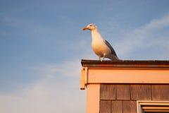 在日落的海鸥 库存照片