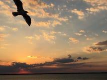 在日落的海鸥sihouette 免版税库存图片