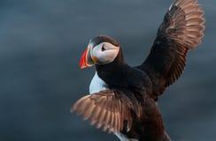 在日落的海鹦鸟 库存照片