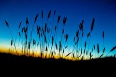 在日落的海滩草剪影 库存照片