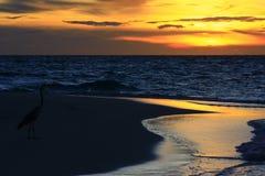 在日落的灰色苍鹭 免版税库存图片
