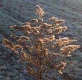 在日落的燕麦领域 库存图片