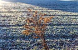 在日落的燕麦领域 库存照片