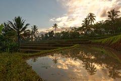 在日落的爪哇米领域 库存图片