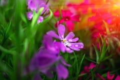 在日落的狂放的桃红色和紫色花 图库摄影