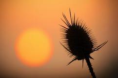 在日落的狂放的蓟剪影 免版税库存图片