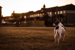 在日落的狗 图库摄影