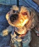 在日落的狗 免版税库存图片