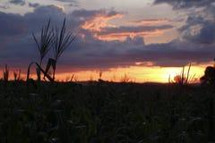 在日落的玉米庄稼 免版税库存图片