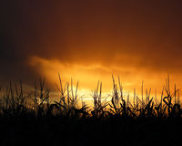 在日落的玉米田缨子 库存图片