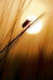 在日落的玉米臭虫 免版税库存照片