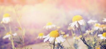 在日落的王尔德雏菊点燃自然背景,横幅 免版税库存照片