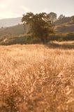 在日落的田园诗草甸和橡树 库存照片