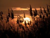 在日落的由后面照的芦苇 免版税库存照片