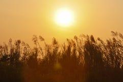 在日落的由后面照的草 免版税库存照片