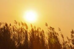 在日落的由后面照的草 免版税图库摄影