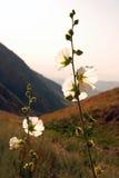 在日落的白色冬葵在山 库存照片
