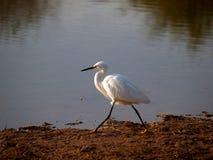 在日落的白色白鹭 图库摄影