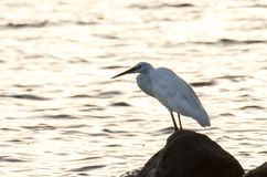 在日落的白色苍鹭在湖附近的一个岩石 库存图片