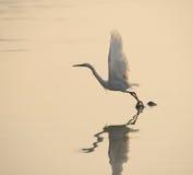 在日落的白鹭戏剧 免版税图库摄影