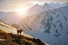 在日落的石山羊在Tatra山 免版税库存照片