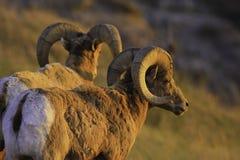 在日落的石山羊 库存照片