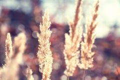 在日落的秋天草 免版税库存图片