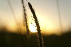 在日落的种子 免版税图库摄影