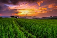 在日落的稻 免版税库存照片