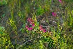 在日落的紫色野花在杉木森林附近 库存图片
