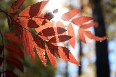在日落的红色叶子 免版税库存照片