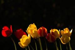 在日落的红色和黄色郁金香 库存图片