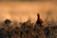 在日落的红色松鸡 库存照片