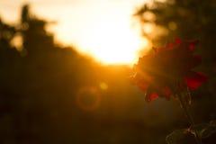 在日落的红色玫瑰 免版税库存照片