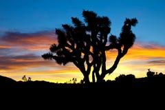 在日落的约书亚树剪影 图库摄影
