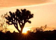 在日落的约书亚树剪影 免版税图库摄影