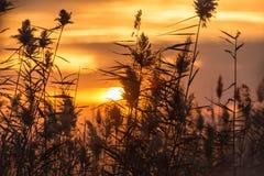 在日落的纸莎草 图库摄影