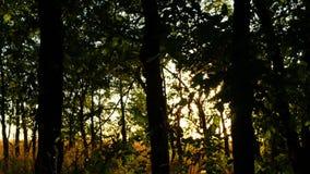 在日落的绿色林木 太阳光芒穿过树分支  背景蓝色云彩调遣草绿色本质天空空白小束 股票视频