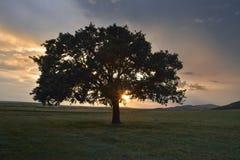 在日落的美丽的橡木 免版税库存照片