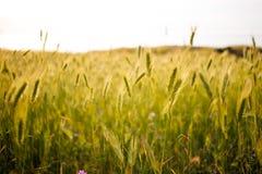 在日落的美好的绿色领域 草和领域野花春天medow  自然本底 图库摄影