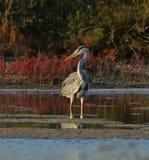 在日落的美好的蓝色苍鹭捕鱼 库存图片